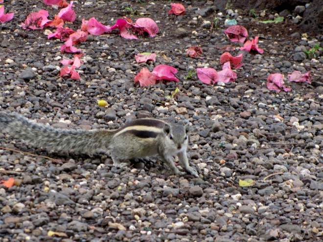 india squirrel