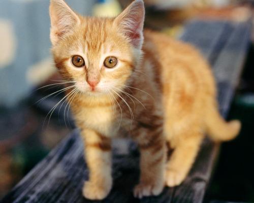 orange cat walking.