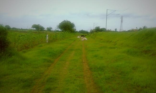 field cows