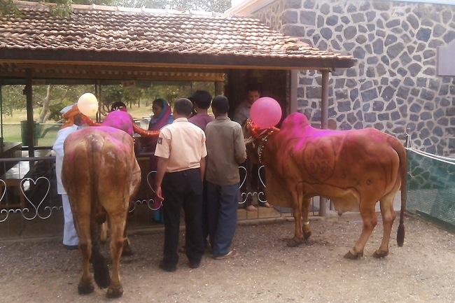 cowsprasad