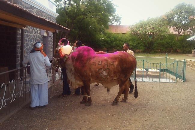 cowssamadhi