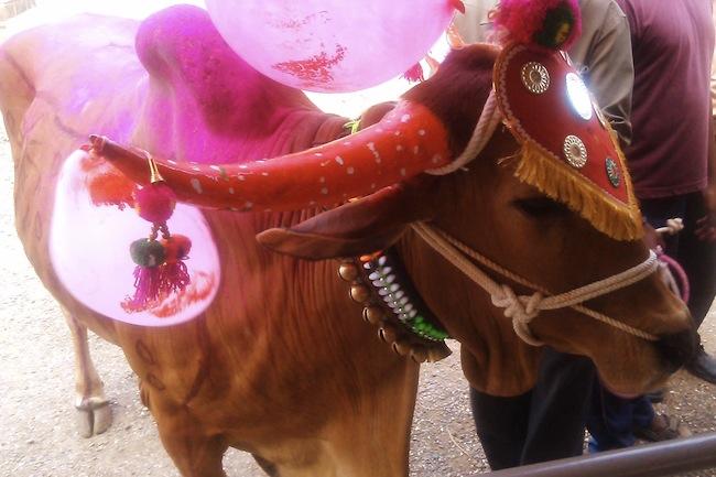 cowssamadhi3