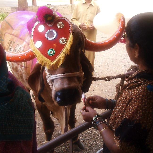 cowssamadhi4