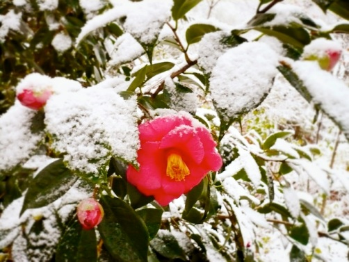 durham snow flower