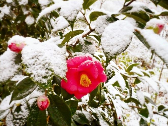durham snow flower