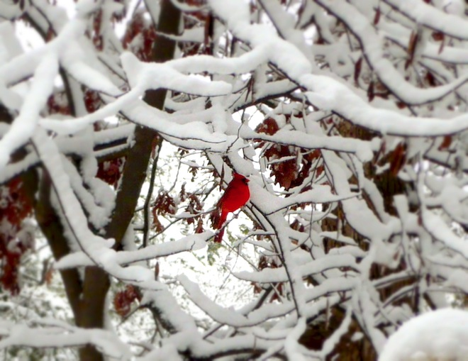 durham snow red bird