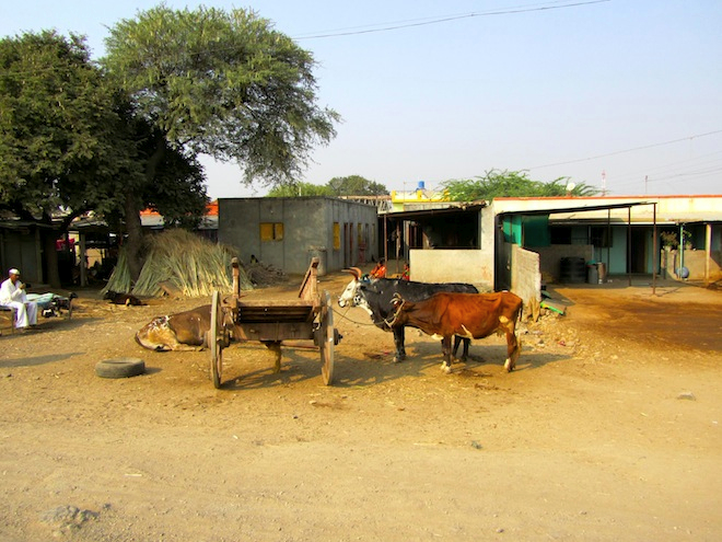 india street cows