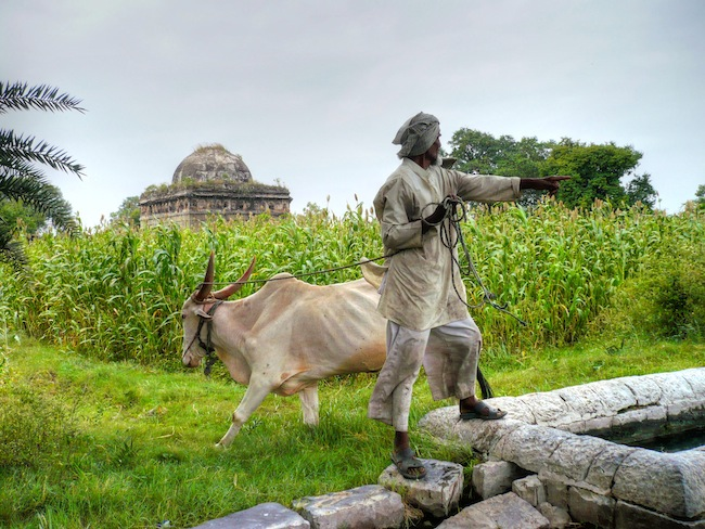 King Ahmed's Tomb, man and cow in India
