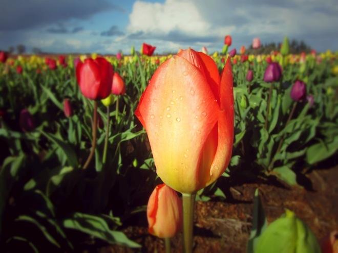 tulip farm oregon 1