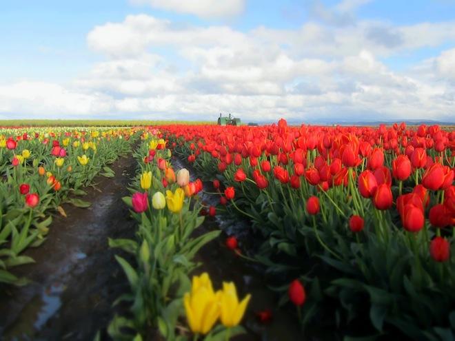 tulip farm oregon 10