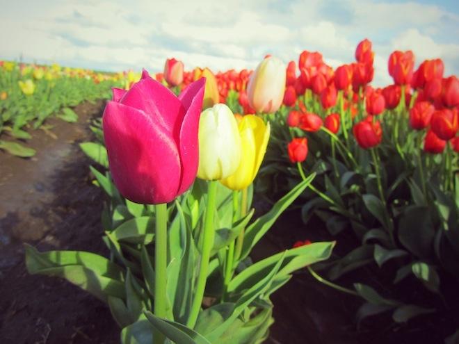 Tulips at the tulip farm in Woodburn, Oregon