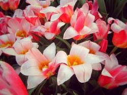 tulip farm oregon 13