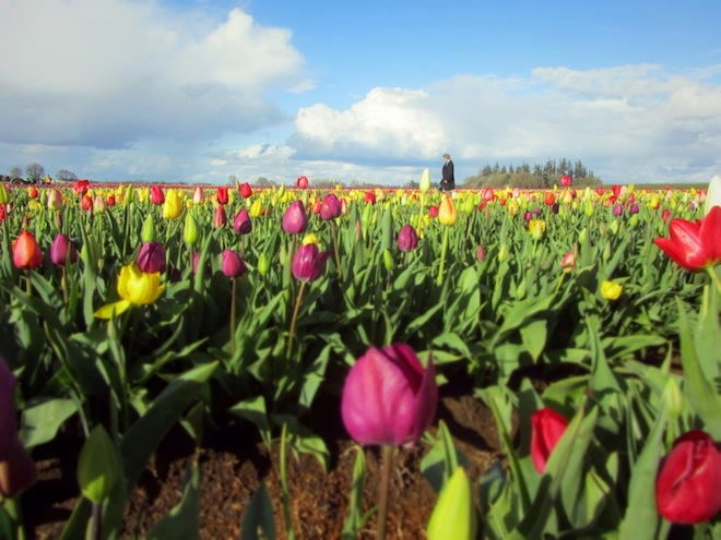 tulip farm oregon 4