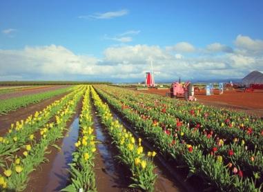 tulip farm oregon 5