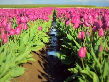tulip farm oregon 6