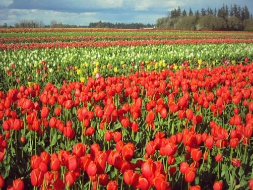 tulip farm oregon 8