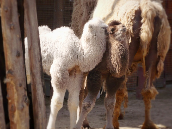 Adorable baby camels.