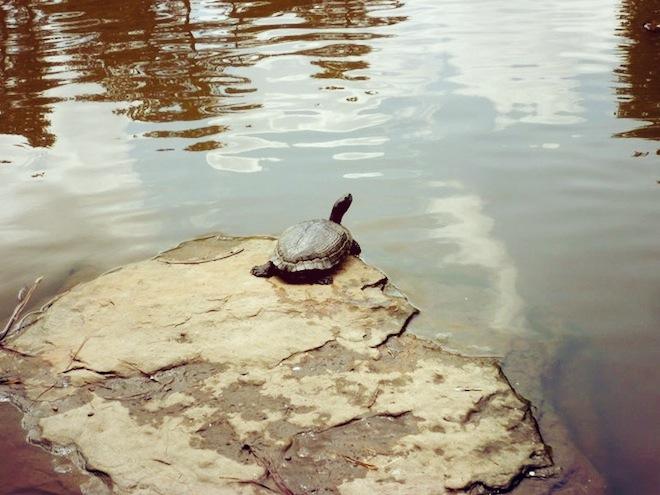 duke gardens durham turtle