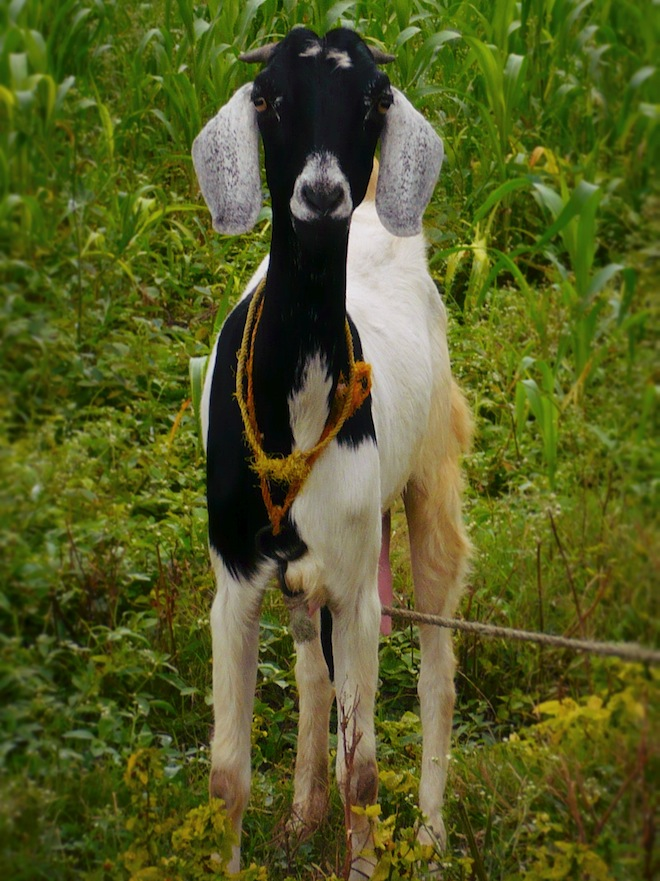 king ahmed tomb india goat