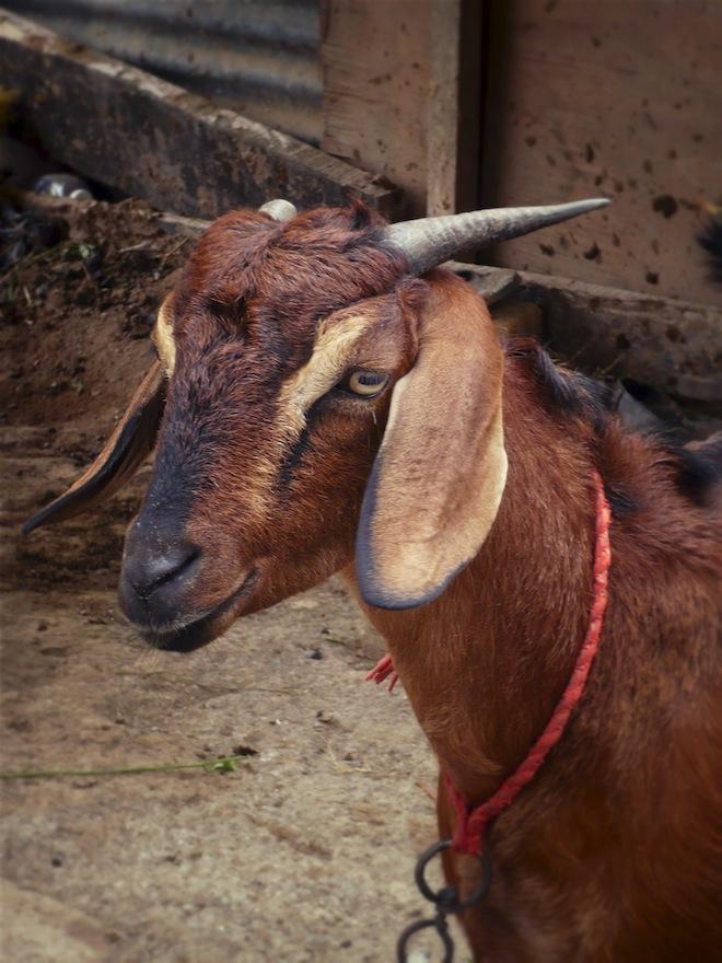 king ahmed tomb india goat1