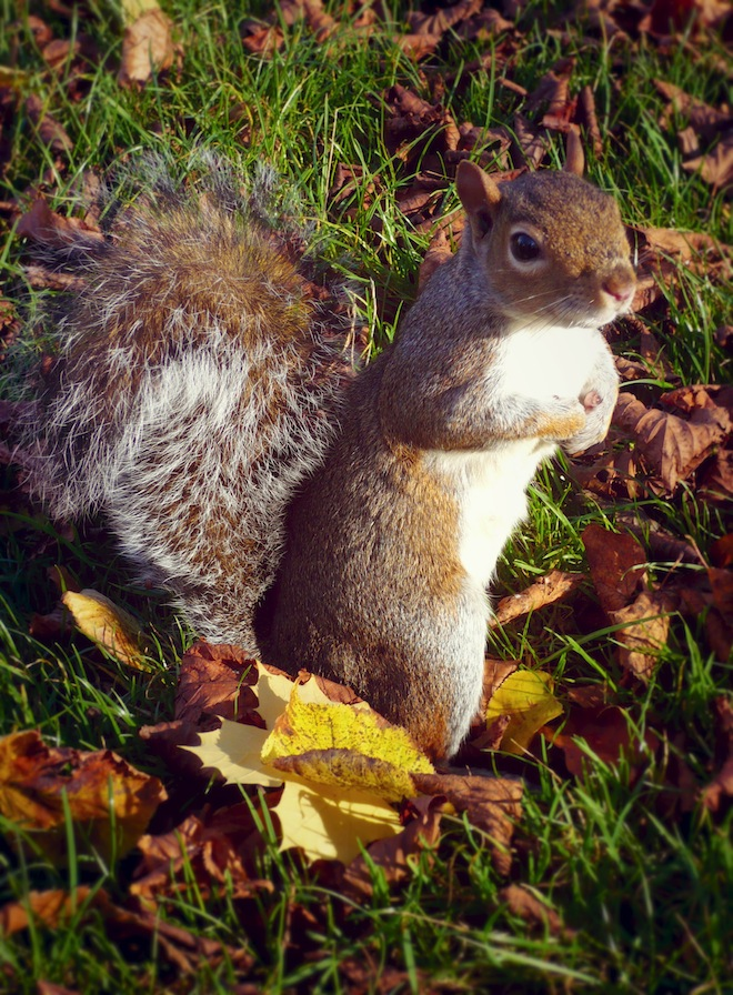 london park squirrel