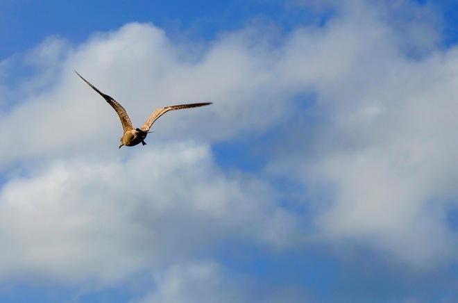 astoria oregon bird