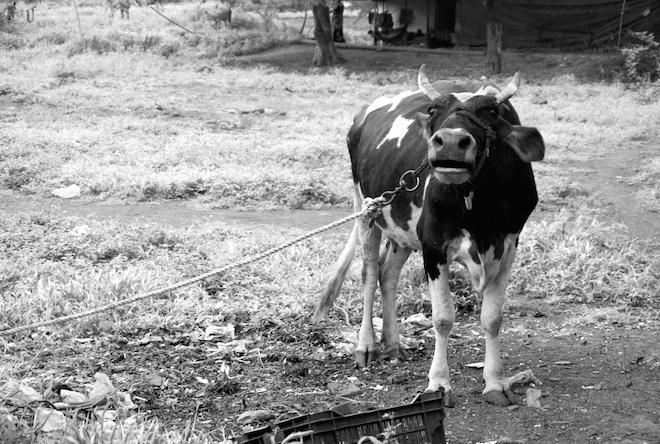 india2015 street10 cow